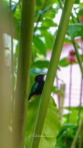 colibri jardin balata