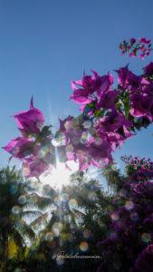 fleur anse saint jacques
