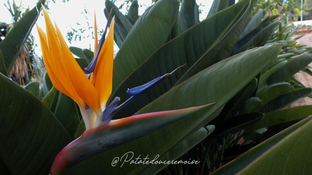 oiseau-du-paradis-funchal