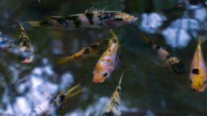 poisson jardin balata
